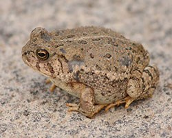 Woodhouse's-Toad2