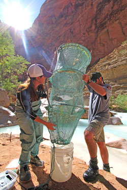 surveying fish in Havasu Creek
