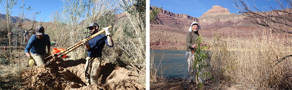 Left: volunteers in the process of digging a hole for planting, right: volunteer posing with a planted and caged Goodding's willow