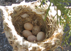 Cowbirds lay their eggs in the nests of many different species.