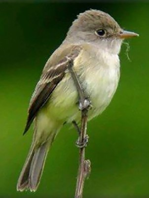 Southwestern willow flycatcher on a branch against green backdrop