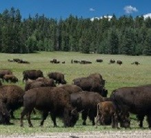 Bison herd grazing by paved road.