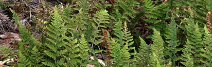 Beaded Lipfern - Patrick J. Alexander @ USDA-NRCS PLANTS Database