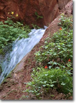 columbine and monkey flowers by a spring flowing through a rock channel