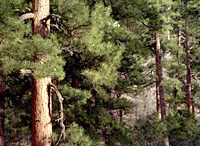 Ponderosa Pine Forest on the North Rim