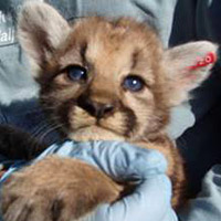 mountain lion kitten looking at you.