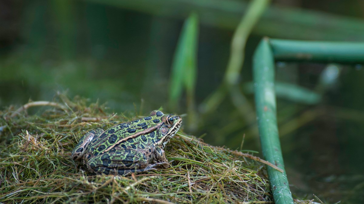 Green frog on grass