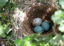 cowbird egg found in another bird's nest.