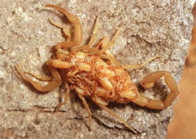 Female scorpion carrying her young on her back.