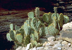 PRICKLY PEAR ON LEDGE