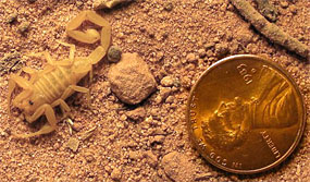 size of bark scorpion compared to a penny