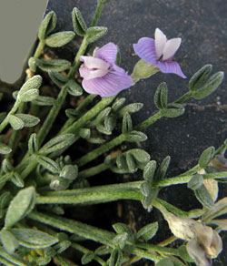 close up of sentry milk-vetch plant with two flowers.