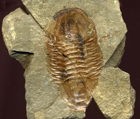 Fossils - Grand Canyon...