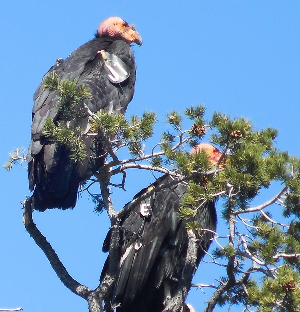 Two black birds with wing tags and pink heads are sitting in the branches of a pinyon pine tree.