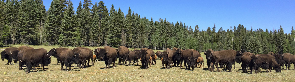 A row of brown bison standing in a meadow and stretching across the horizon. Green trees form the background.