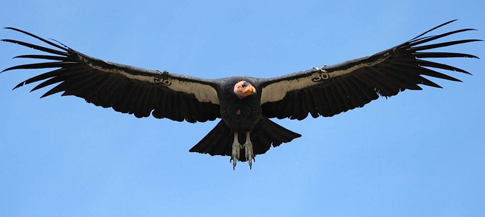 A California condor with tag number 30 is flying with wings outstretched.