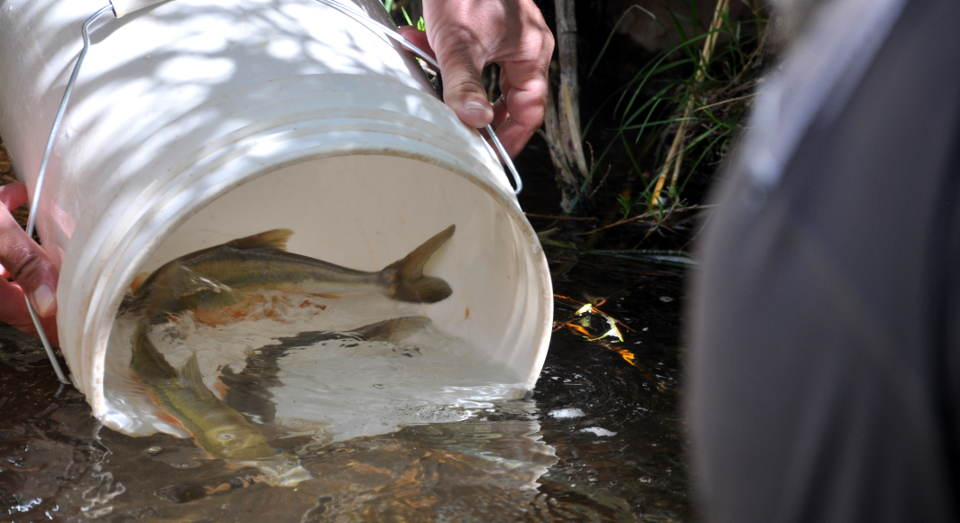 Hands holding a white, 5 gallon bucket that is releasing two fish into a clear, calm stream.