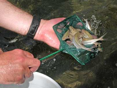 Second Translocation of Endangered Humpback Chub to Havasu ...