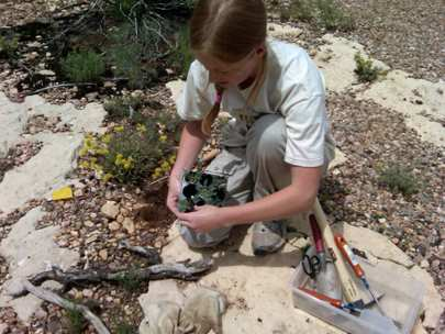 Grand Canyon National Park Vegetation Program Intern planting sentry milkvetch (Astragalus cremnophylax) at Marcicopa Point on the South Rim (NPS Photo)