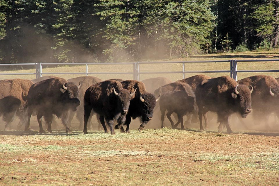 a small herd of bison within a corral in an open meadow.