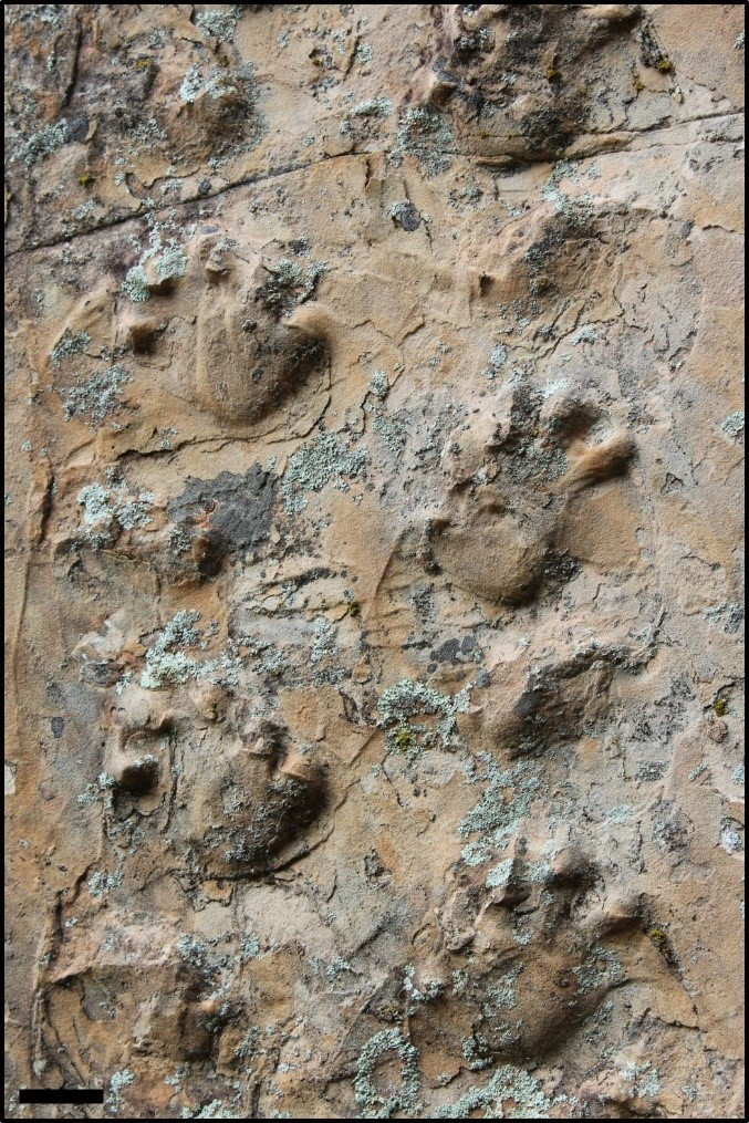 Close up view of the Ichniotherium trackway.