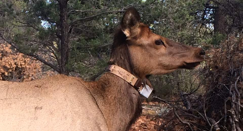 Profile of a cow elk wearing a radio collar around it's neck.