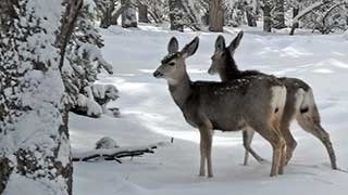 Looking at the left-facing, full-body profiles of two mule deer in a snowy landscape.