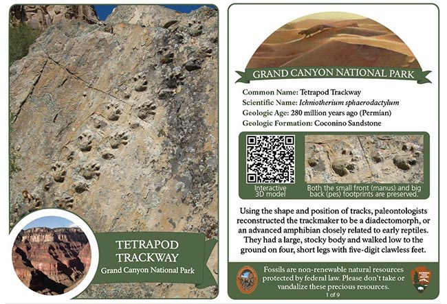 Front and back side of a Grand Canyon National Park Fossil Trading Card that features a footprint trackway of an amphibian that had a large, stocky body, and walked on four short legs with five-digit clawless feet.
