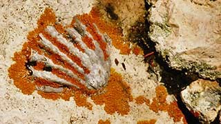 Fossil of sea shell in white limestone, highlighted by orange lichen growing near shell ribs.