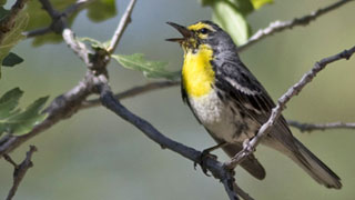 Grace's Warbler: small songbird on a tree branch singing. bird is black and grey color with white belly and Yellow chin, throat, and breast.