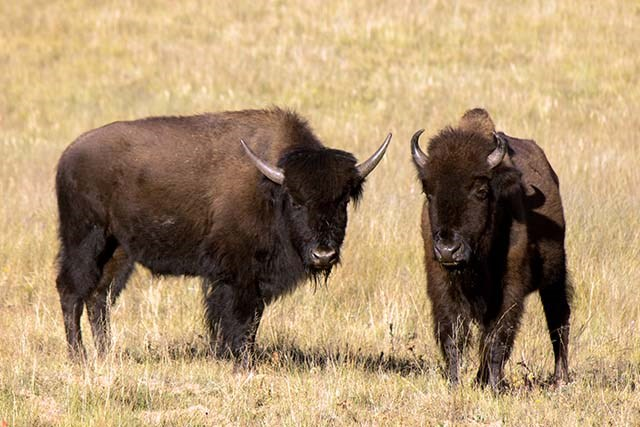 Two adult bison, one in profile and one facing forward are standing in a field of browned out grass.