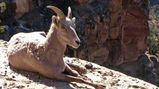 Bighorn ewe sitting on a limestone ledge and looking at the camera. vertical cliff in the background