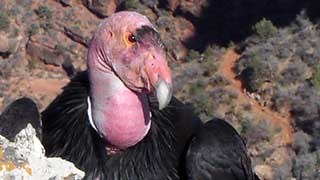 Perched on a rock ledge a black California condor has turned her pink, featherless head and is looking directly at you.