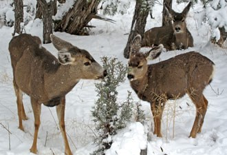 mule deer browsing in snow