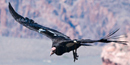 CA condor in flight