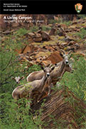 Cover of Grand Canyon Ecology booklet show 4 bighorn sheep in Grand Canyon