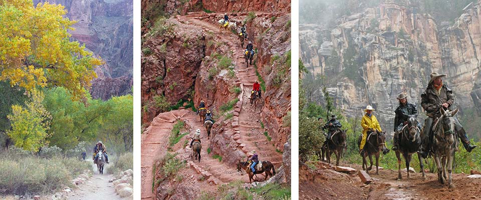 3 photos: left to right. Mule riders under colorful cottonwood tree at Phantom Ranch, mules descending switchbacks, Mules in rain on North Rim trail