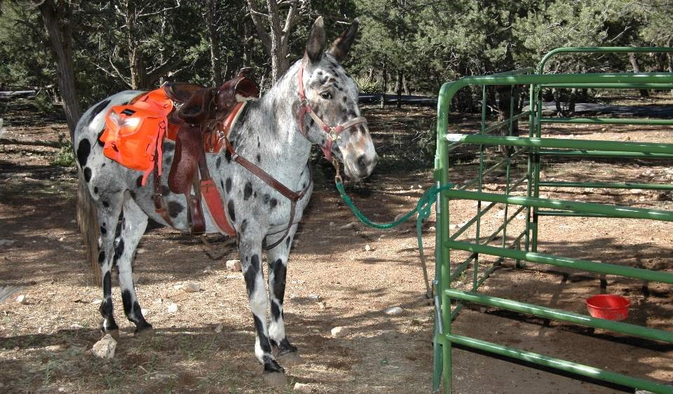 Wearing a brown saddle. a white mule with brown and black spots is standing next to a green metal fence.