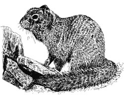 drawing of rock squirrel