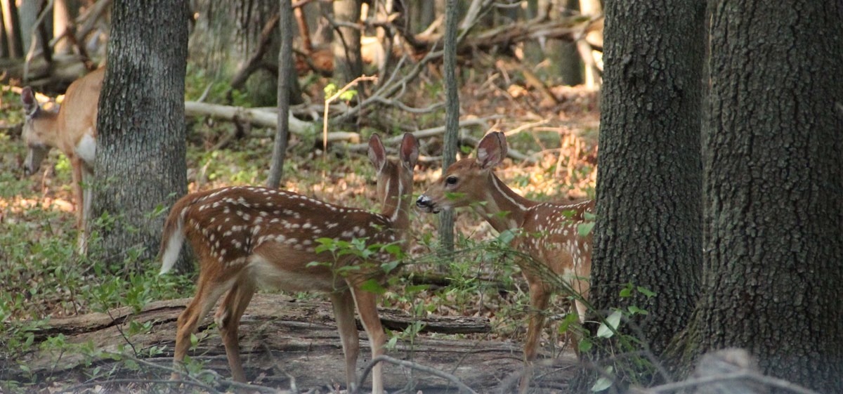 Fawns in Greenbelt Park, Maryland