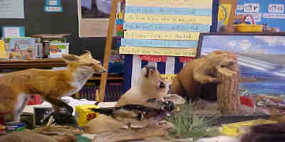 stuffed animals (done by a taxidermist) displayed at Yorktown Elementary School classroom