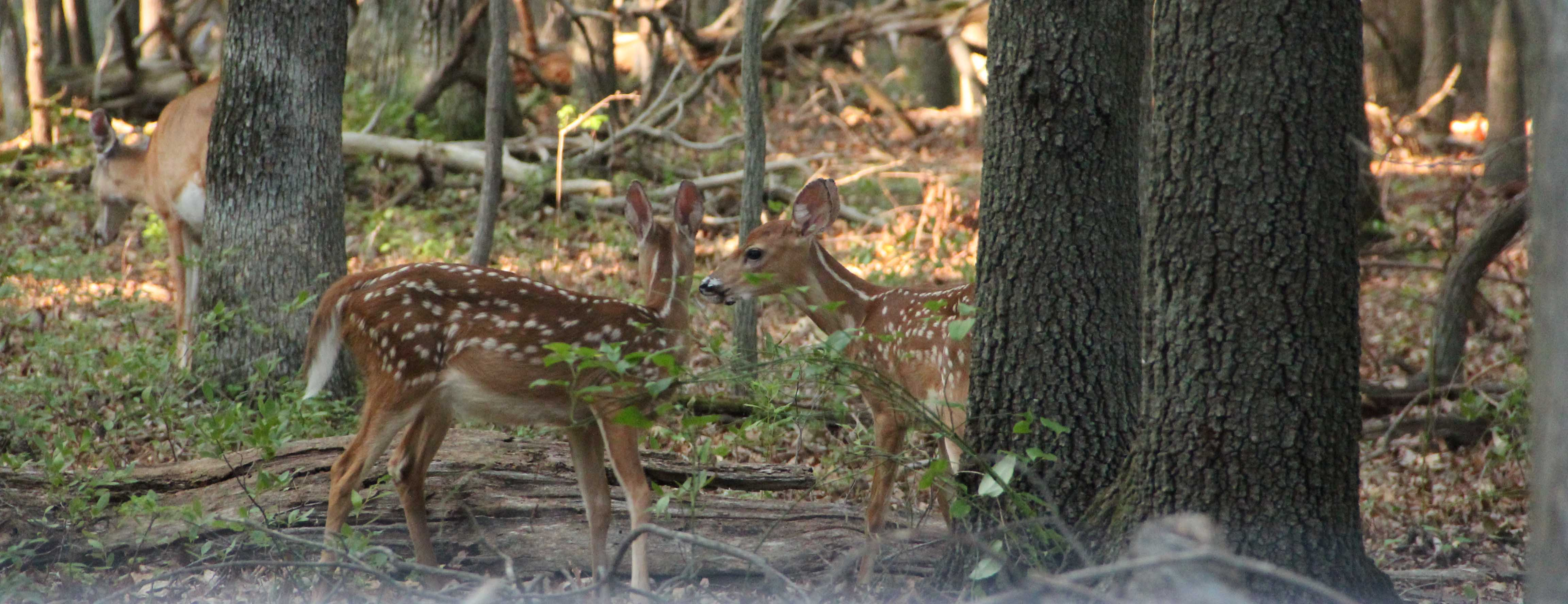 a picture of two fawns