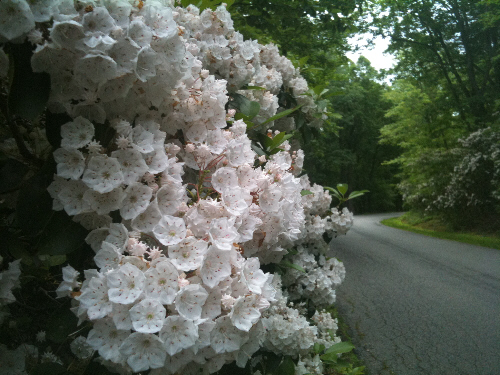 a picture of the Mountain Laurel in Greenbelt Park May 22,2011