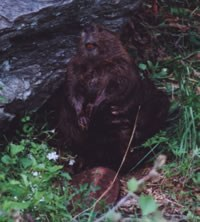 Beaver sitting by a rock