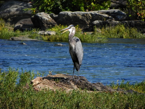 Great Blue Heron fishing in the river above the falls.