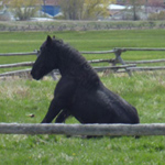 Percheron draft horse hanging out at the ranch.