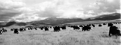 Cow herd grazing Montana ranges.