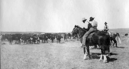 Cowboy and cattle in Eastern Montana, ca. 1910.