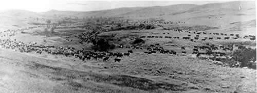 Cattle grazing on the open range.
