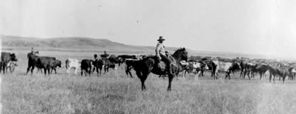 Hisotric image of cowboy watching cattle graze on the open range.